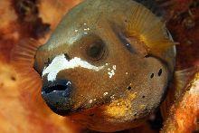 Blackspotted puffer (Arothron nigropunctatus)