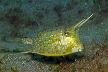 Longhorn cowfish (Lactoria conuta)