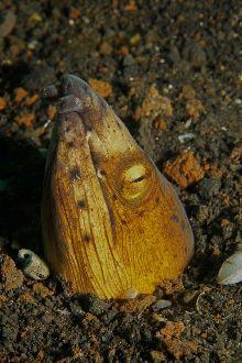 Black-finned snake eel (Ophichthus melanochir)
