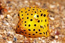 Yellow boxfish (Ostracion cubicus)