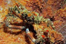 Pronghorn decorator crab (Schizophrys dama)