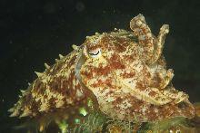 Broadclub cuttlefish (Sepia latimanus)