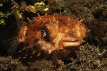 Orbicular burrfish (Cyclichthys orbicularis)