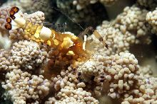 Peakock-tail anemone shrimp (Periclimenes brevicarpalis)
