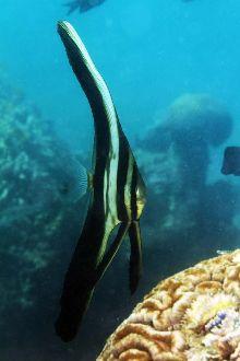Longfin stadefish juvenile (Platax teira)